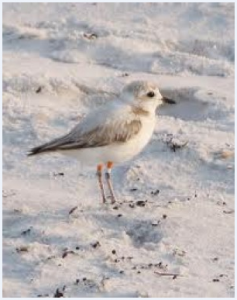 Snowy Plovers, sea turtles moving on sand on Siesta