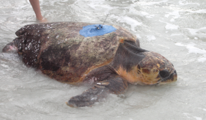 Scientific first for male turtles began off Turtle Beach