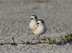 THE SNOWY PLOVER: SIESTA KEY'S RARE BEACH GEM