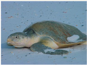 Kemp's ridley sea turtle  Photo source Wkipedia