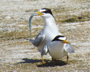An adult least tern brings a fishy gift to his lady