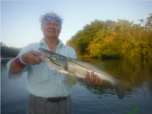 Snook will start moving back into Sarasota Bay in September. Sarasota resident, Doc. Dojutrek holds a nice one that he fooled using a topwater plug.