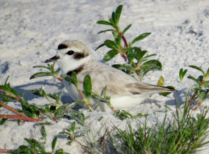 A male Snowy Plover almost unseen in plain sight