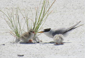 Least Tern Chicks and Adult