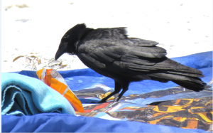 A crow stealing a snack