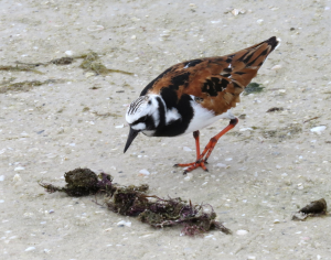 Ruddy Turnstone bird pic