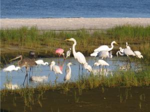 The Beautiful Birds of Siesta Key Beach