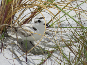 snowy plover pic