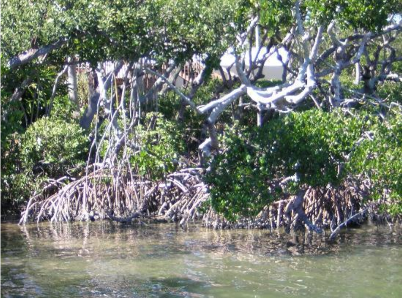 longboat key mangroves