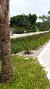 These photos show a recently completed bioswale project in Englewood. The plantings are similar to the types of plantings that may work in the areas along Ocean Blvd.