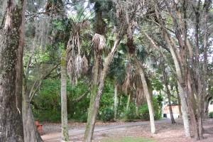 florida palms2