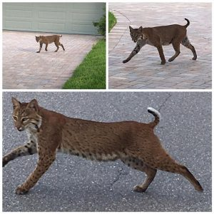 siesta key bobcat