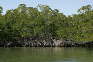 Red mangrove trees at water edge usfs via wikimedia commons